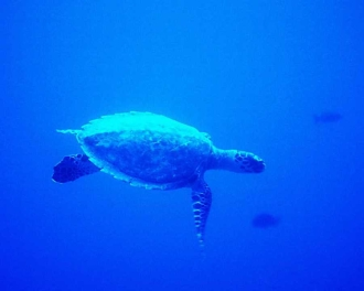 Eye Candy Turtle swimming in his own little world.