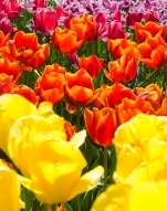 tulip fiel