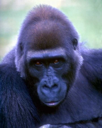 Inspiration Eye Candy ape?  They're really sweet animals.